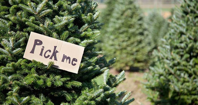 Harvest Your Own Christmas Tree in YDH This Holiday Season
