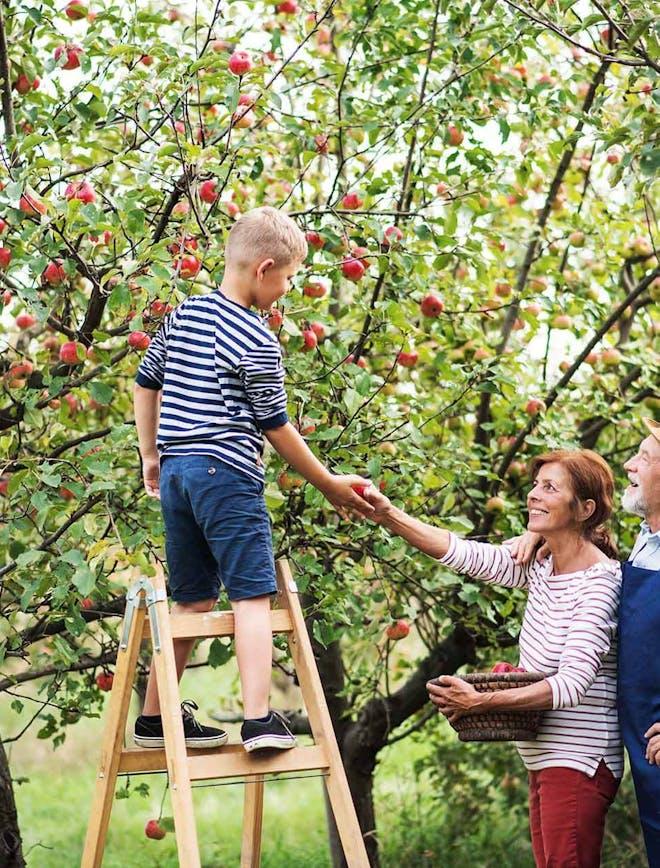 Apple Picking in YDH